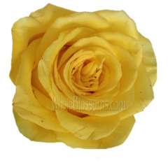 Valentine's Day Yellow Organic Roses