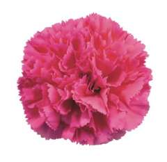 Hot Pink Carnation Flower