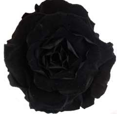 Black Preserved Roses Biological