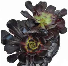 Succulent Flower Black Rose