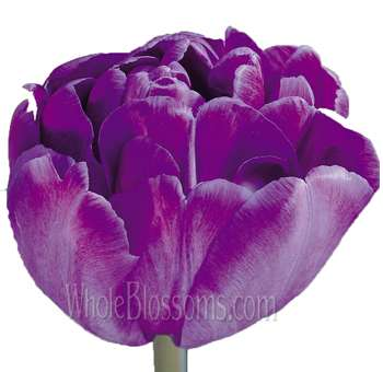 Double Tulips Purple Blue Diamond