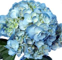 Blue Airbrushed Hydrangea