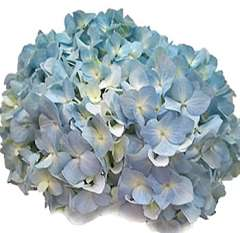 Super Select Blue Hydrangea