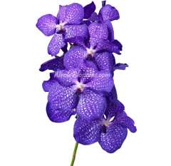 Blue Vanda Orchid with Purple Hue