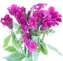 Feather Celosia Magenta Purple Flower