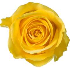 Brighton Yellow Rose