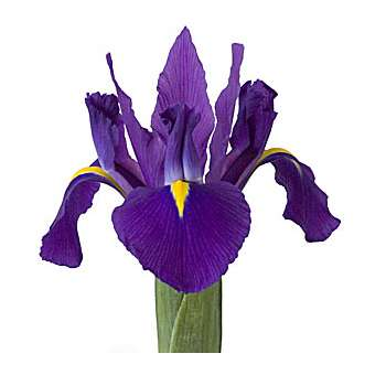 Bulk Purple Iris Flower