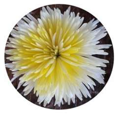 Center Yellow Mums Anastasia Flower