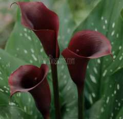 Calla Lily Mini Chocolate Purple Flowers