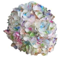 Confetti Multicolored Wholesale Hydrangeas