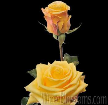 Conga Yellow Wholesale Roses