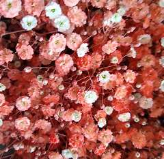 Baby's Breath Coral Peach Flower