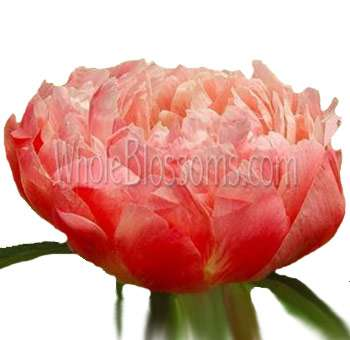 Coral Salmon Peonies