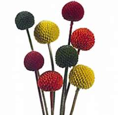 Craspedia Billy Ball Flowers Assorted