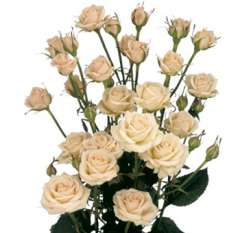 Cream Spray Roses for Valentine's Day