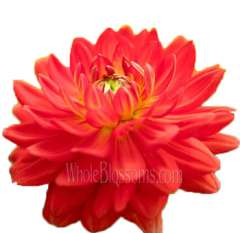 Dahlias Red Orange Tomato Irene