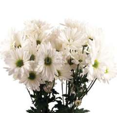 Daisy Poms White Flowers