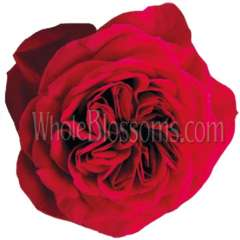 David Austin Red  Darcy Garden Rose