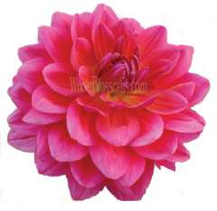 Dahlia Dark Pink with Purple Cast