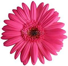 Dark Pink Gerbera | Dark Center