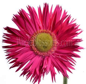 Wholesale Spider Gerbera