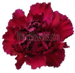 Carnation Burgundy Flowers