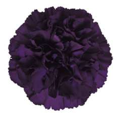 Moonvista Dark Purple Carnation