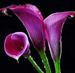 Purple Mini Calla Lilies