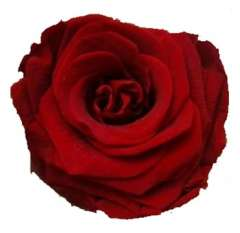 Dark Red Preserved Roses