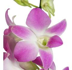 Dendrobium Orchid Pink White