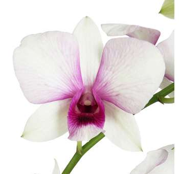 White Dendrobium Hot Pink Lip Orchid