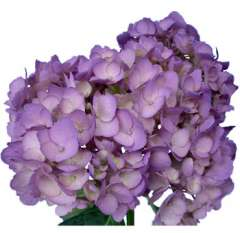 Airbrushed Lavender Hydrangea