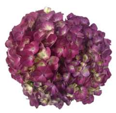 Elite Purple Violet Hydrangea Flower
