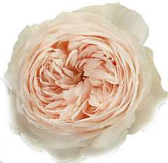 Emma Woodhouse Peach Garden Roses
