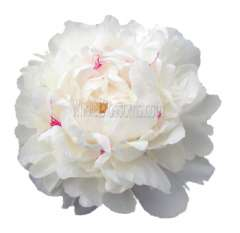 Peony White With Pink Speckles