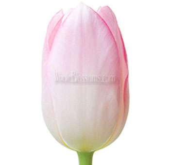 Wholesale French Tulip