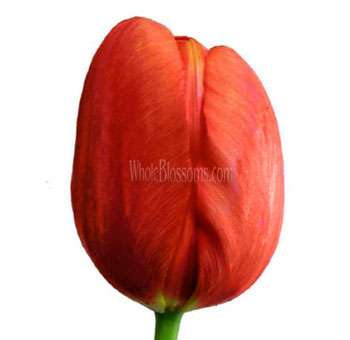 French Red Tulips Flower