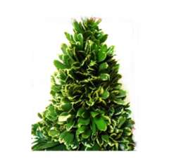 Fresh Variegated Pittosporum Christmas Tree