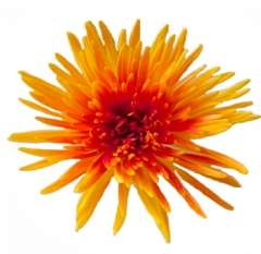 Bicolor Spider Mums Orange Yellow