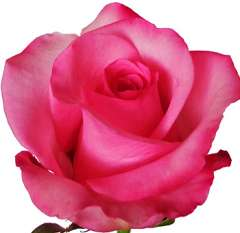 Gigi Dark Pink Rose
