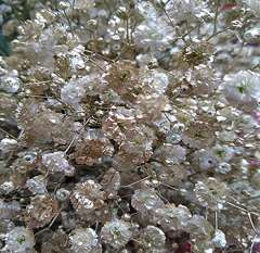 Baby's Breath Gold Color
