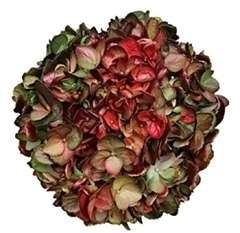 Chameleon Gold Green Red Hydrangea