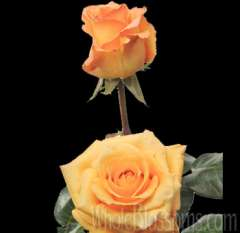Gold Milva Yellow Rose