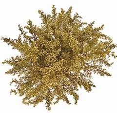 Tinted Gold Aster Solidago Flower