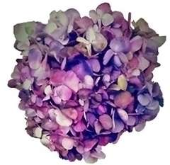 Vintage Antique Purple Hydrangea
