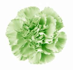 Green Flower Carnation Fresh