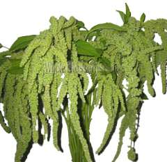 Green Hanging Amaranthus Imported