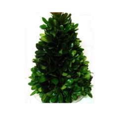 Green Pittosporum Fresh Christmas Trees