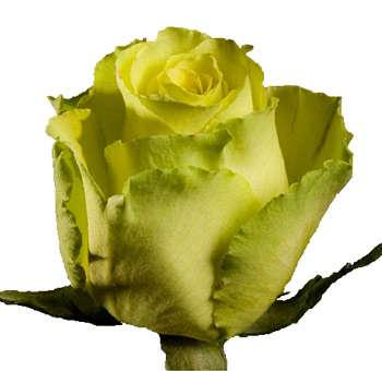Wholesale Green Rose