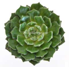 Green Succulent Flower Wooly Rose